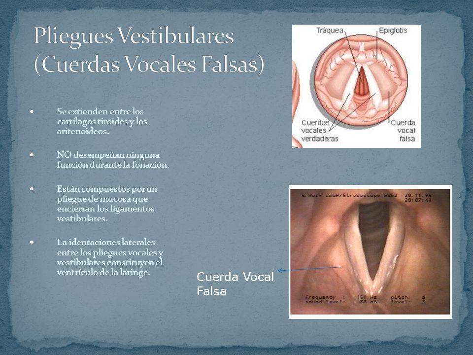 ¿Cuáles son las falsas cuerdas vocales?