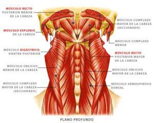 Músculos de la garganta
